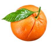 orange moget isolerad white för bakgrund ny frukt Royaltyfria Bilder
