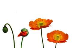 Orange Mohnblume Lizenzfreie Stockfotos