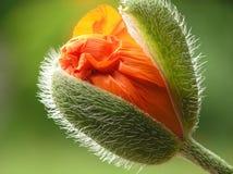 Orange Mohnblume Stockbilder