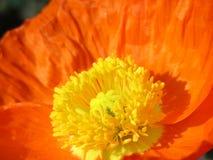 Orange Mohnblume lizenzfreie stockfotografie