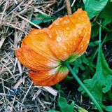 Orange Mohnblume Stockfoto