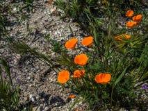 Orange Mohnblume Kaliforniens aus den Grund Lizenzfreie Stockfotografie