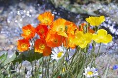 Orange Mohnblumen Stockfotografie