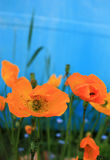 Orange Mohnblumen Stockfotos