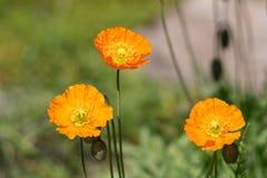 Orange Mohnblumen im Frühjahr stockbild