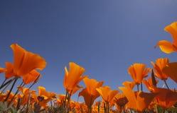 Orange Mohnblumen mit blauem Himmel Stockfotografie