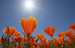 Orange Mohnblumen mit Sonne Lizenzfreie Stockbilder