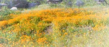 Orange Mohnblumenhügel Kaliforniens dunstig lizenzfreie stockbilder