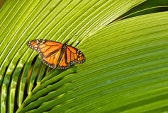 Orange monarch Butterfly Stock Image