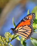Orange Monarch Butterfly. Orange and Black Monarch butterfly Royalty Free Stock Photography