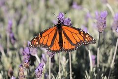 Monarch butterfly on lavender flower. Orange Monarch Butterfly drinking nectar in a field of lavender flowers stock image