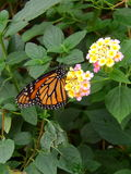 Orange monarch butterfly with flower Stock Images