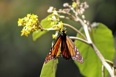 Orange monarch butterfly in migration. Orange monarch butterfly in mexico migration during winter the buttefly is in brnach stock photo