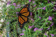 Monarch Butterfly. Orange monarch butterfly resting on purple flowers royalty free stock images
