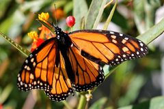 An orange Monarch butterfly sits on green leaves. Seen from above, an orange and black Monarch butterfly lands on green leaves against a blurred background royalty free stock photos