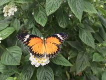 Orange Monarch Butterfly on a white flower. An Orange Monarch Butterfly on a white flower from North America. Also known as the Danaus Plexippus royalty free stock photography