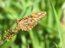 Orange Monarchfalter, der wilde Sporen bestäubt stockbild