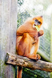 Orange Monkey in Captivity. Photogrpah of a small orange monkey in captivity eating s tick of celary Royalty Free Stock Photos