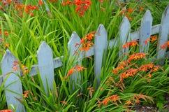 Orange Montbretia Flowers Stock Images