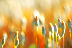 Orange moss buds. Orange fresh and natural moss buds close-up Stock Images