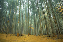 Orange moss floor in the coniferous forest Stock Images