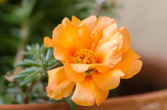 Orange moss rose. Wonderful orange moss rose in a pot. This plant grows new blooms every single day. I would get tired stock photo