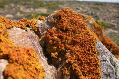 Orange Moss on a stone. Picture of orange moss on a stone Stock Images