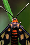 Orange Moth. A macro photo taken off a moth at a field Royalty Free Stock Photo