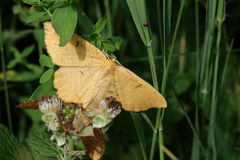 Orange Moth Royalty Free Stock Image