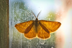 Orange moth asleep on glass Royalty Free Stock Image