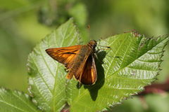 Orange Moth. A Bright orange moth rests briefly in the sunshine on a green leaf Stock Images