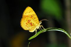 Orange moth butterfly Stock Photos