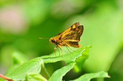 An Orange Moth Royalty Free Stock Images