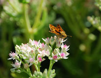 Orange moth on flower Royalty Free Stock Images