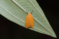 Orange moth on green leaf Stock Image