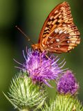 Orange moth on purple thistle stock photography