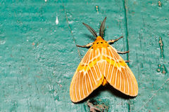 Orange moth on wall. Lymantriidae Stock Photo
