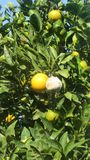 Orange moulded in an orchard of citrus fruits. An orange in a garden has started to be mouldy n royalty free stock image