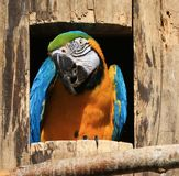 Orange and multi colored Macaw Stock Image