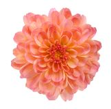 Orange mum flower Stock Image