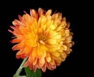 Orange Mum Isolated Stock Photography