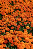 Orange Mums Stock Image