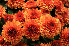 Orange mums Stock Photos