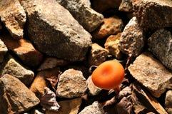 Orange Mushroom Royalty Free Stock Photo