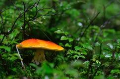 Orange mushroom in the green forest Stock Photo