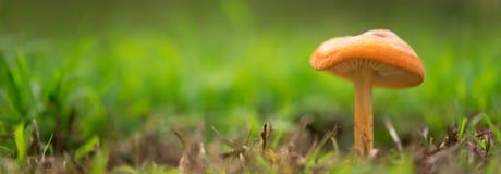 Orange mushroom landscape panorama Royalty Free Stock Photo
