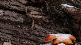 Orange mushroom on tree bark.  stock video footage