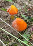 Orange Mushrooms Royalty Free Stock Photo