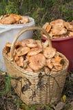 Orange mushrooms Stock Images
