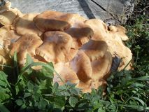 Orange mushrooms in Italy royalty free stock image